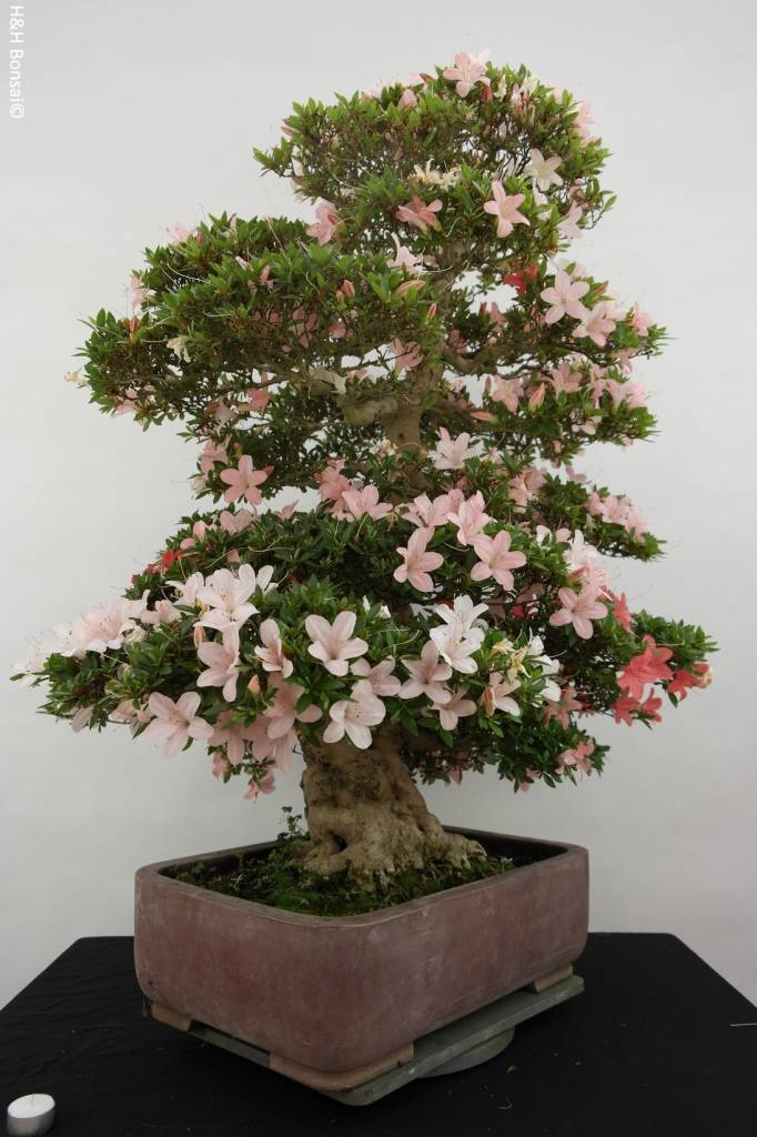 Bonsai Azalea SatsukiNikko, no. 5708