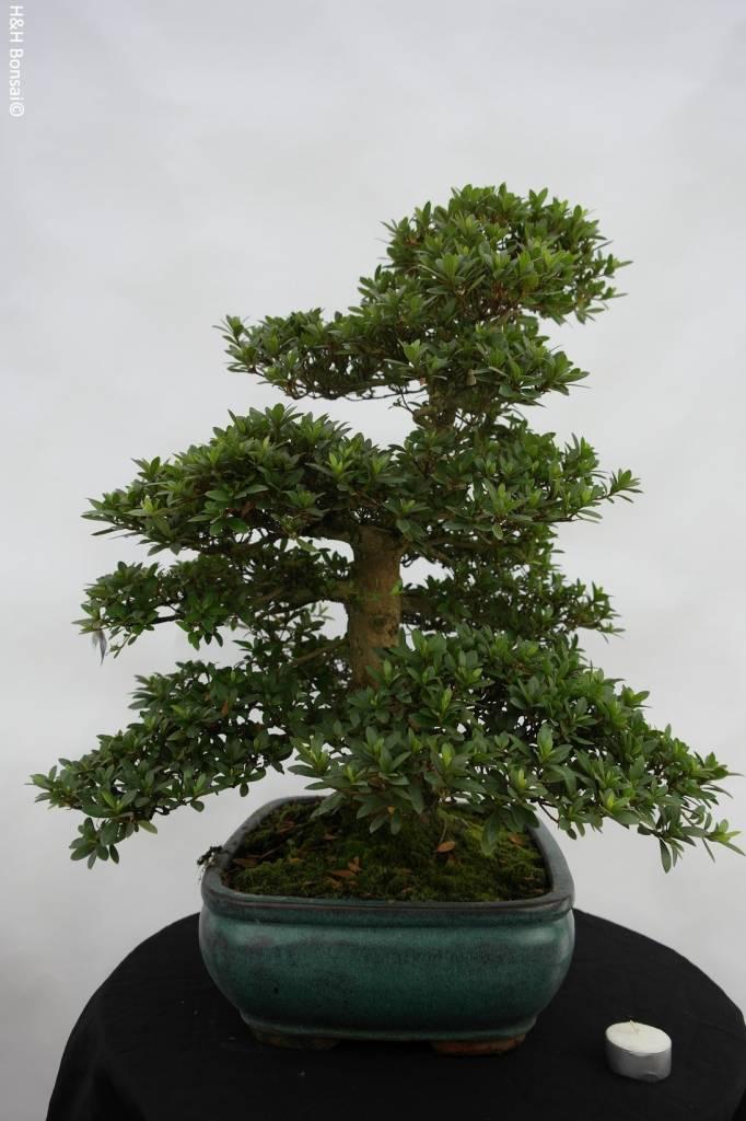 Bonsai Azalée du Japon, Azalea SatsukiJuko no Homare, no. 5688