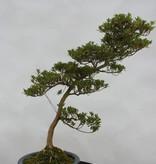 Bonsai Azalée du Japon, Azalea SatsukiShinzan, no. 5408