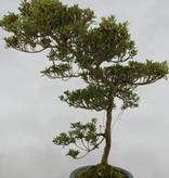 Bonsai Azalea SatsukiShinzan, no. 5408