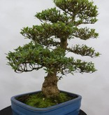Bonsai Azalée du Japon, Azalea Satsuki Juko no Homare, no. 5242