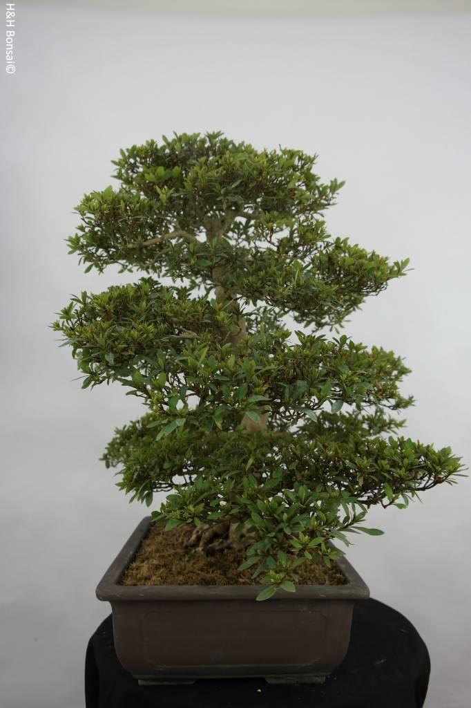 Bonsai Azalée du Japon, Azalea Satsuki Seiko, no. 5680