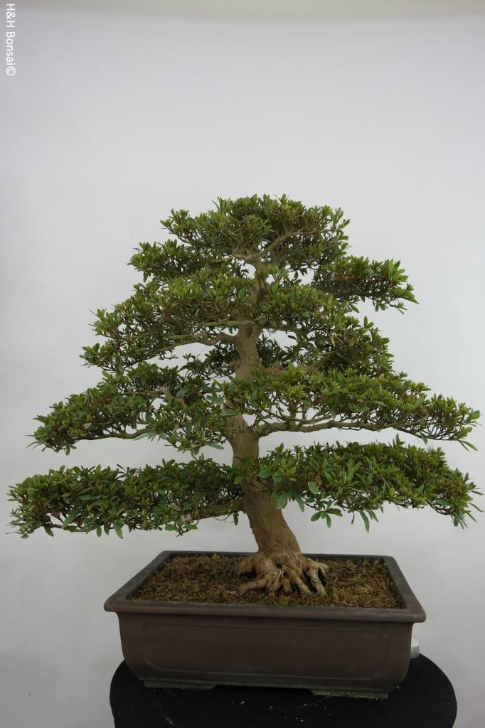 Bonsai Azalea Satsuki Seiko, no. 5680