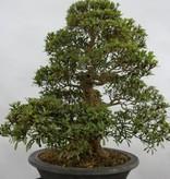 Bonsai Azalée du Japon, Azalea SatsukiKozan, no. 5697
