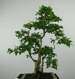 Bonsai Troène, Ligustrum sinense, no. 6495