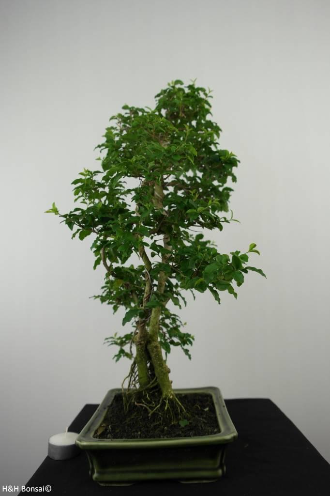 Bonsai Privet,Ligustrum sinense, no. 6495