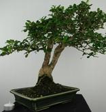 Bonsai Fukien tea, Carmona macrophylla, no. 6504