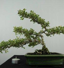 Bonsai Snow Rose variegata, Serissa variegata, no. 6507