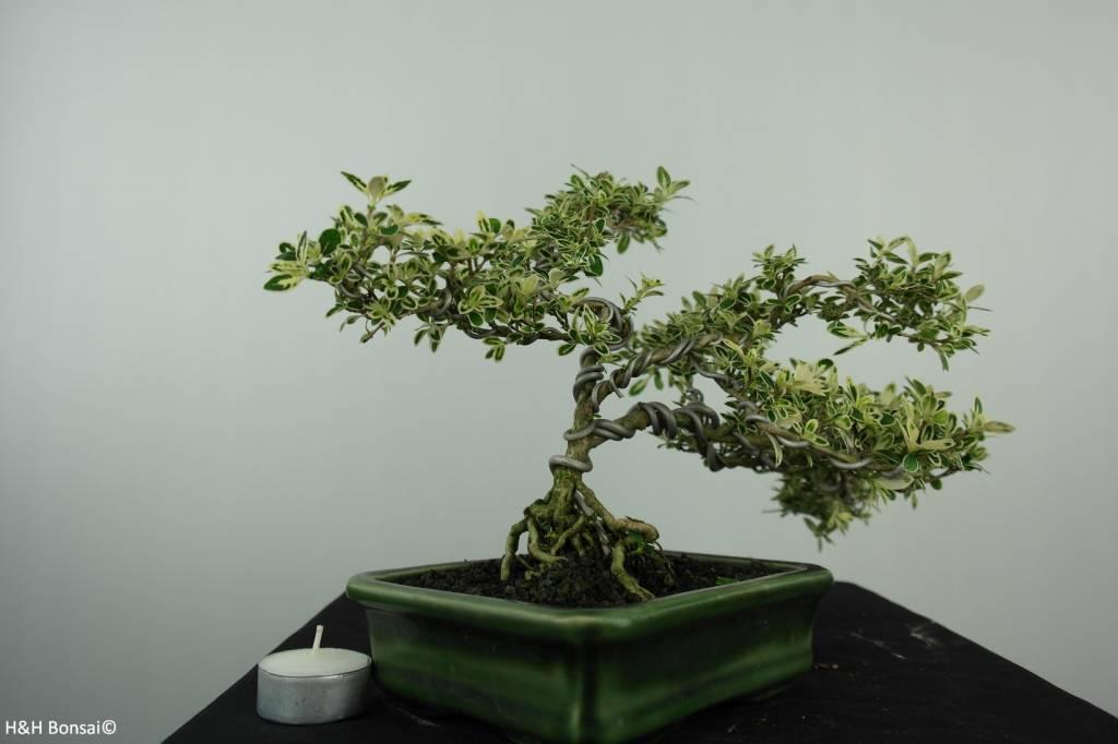 Bonsai Neige de juin panaché, Serissa variegata, no. 6507