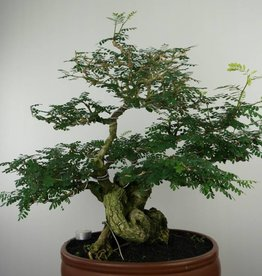 Bonsai Tamarind, Tamarindus, no. 6520