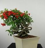 Bonsai Buisson ardent,Pyracantha, no. 6524