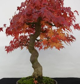Bonsai L'Erable du Japon, Acer palmatum, no. 5117
