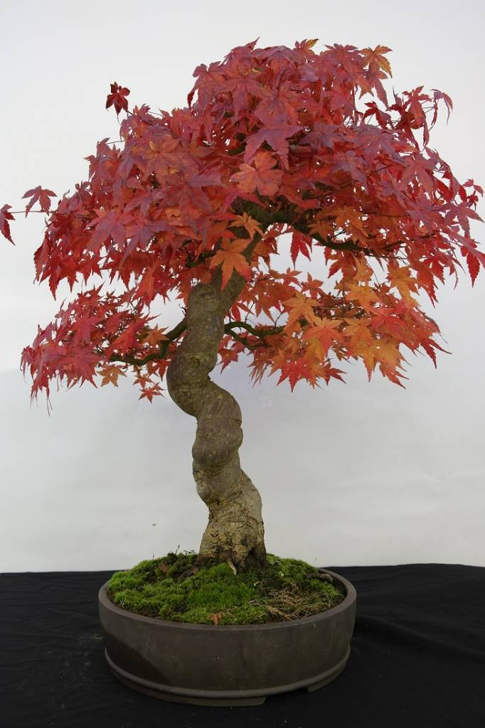 Bonsai Japanese Maple, Acer palmatum, no. 5117