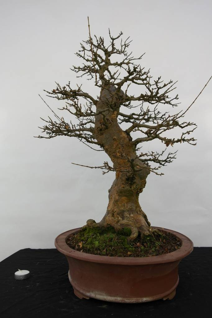 Bonsai Trident maple, Acer buergerianum, no. 5184
