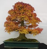Bonsai L'Erable du Japon, Acer palmatum, no. 5499