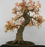Bonsai Trident maple, Acer buergerianum, no. 5114