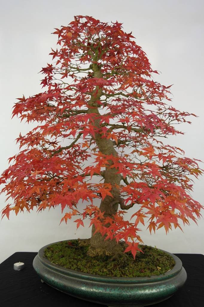 bonsai l 39 erable du japon deshojo acer palmatum deshojo no 5231. Black Bedroom Furniture Sets. Home Design Ideas