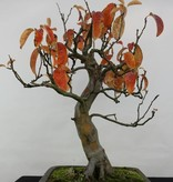 Bonsai Quince, Cydonia oblonga, no. 5234