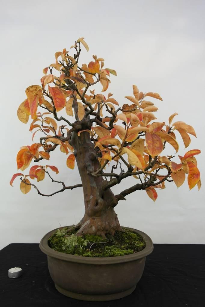 Bonsai Cognassier, Cydonia oblonga, no. 5573