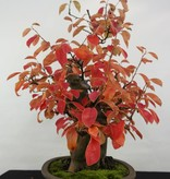 Bonsai Quince, Cydonia oblonga, no. 5145