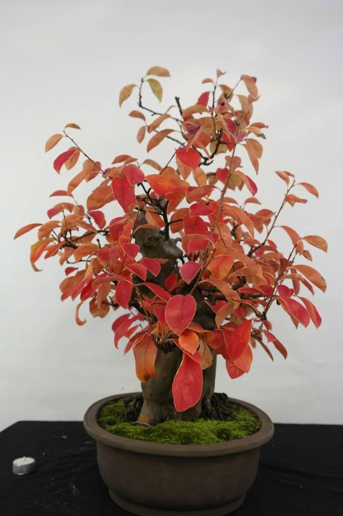 Bonsai Cognassier du Japon, Cydonia oblonga, no. 5145