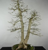 Bonsai Korean Hornbeam, Carpinus coreana, no. 5139