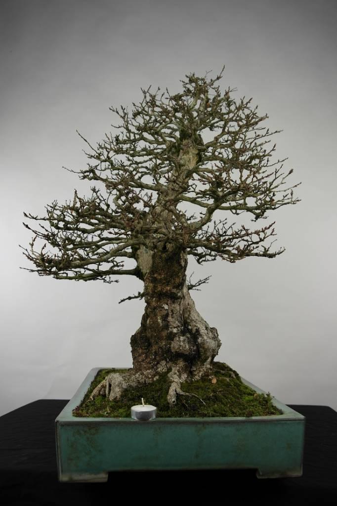 Bonsai Charme de corée, Carpinus coreana, no. 5135