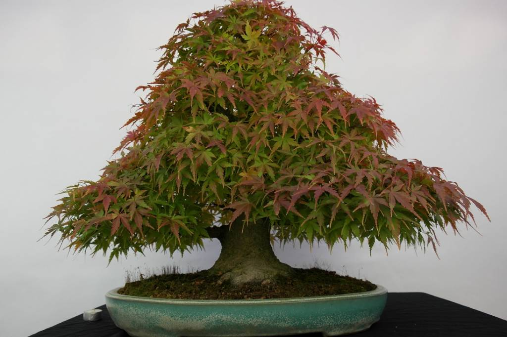 Bonsai Japanese maple, Acer palmatum, no. 5521