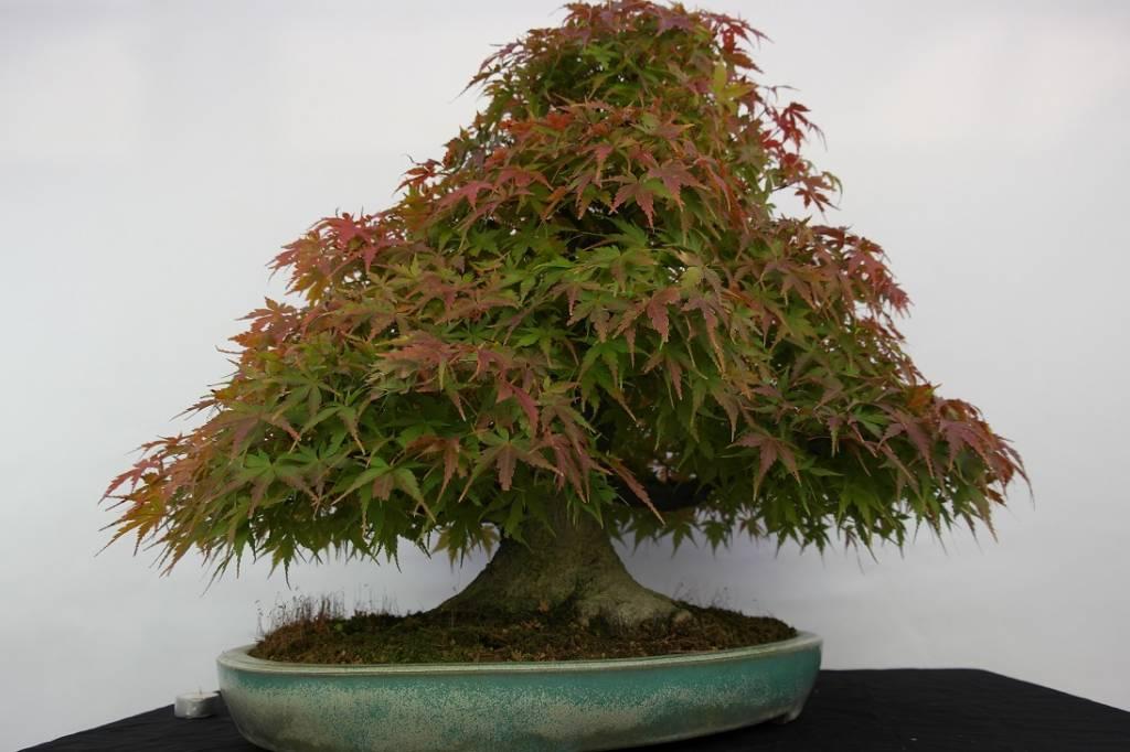 Bonsai l 39 erable du japon acer palmatum no 5521 - L erable du japon ...