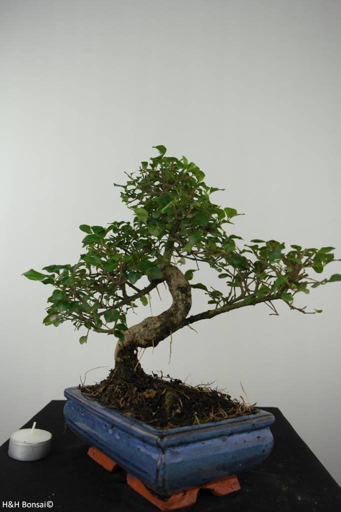 Bonsai Privet,Ligustrum nitida, no. 6550