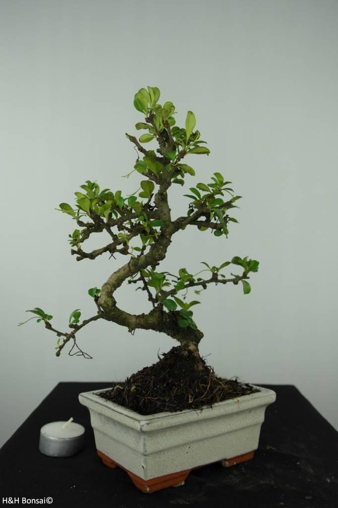 Bonsai Arbre à thé, Carmona macrophylla, no. 6558