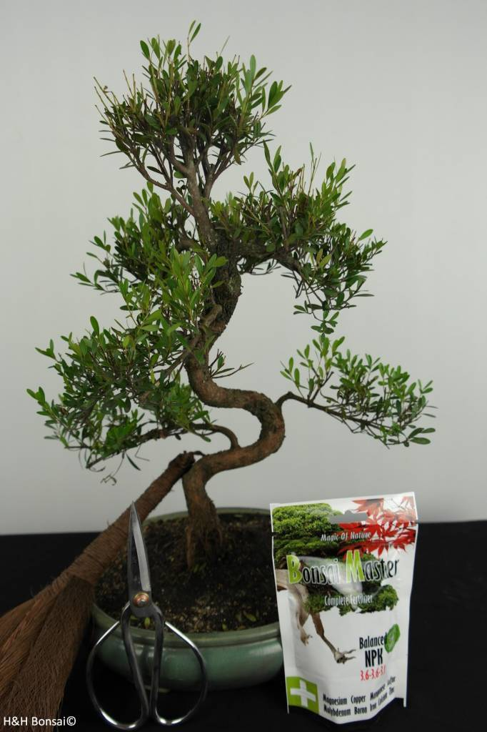 Bonsai gift set Syzygium, no. G37