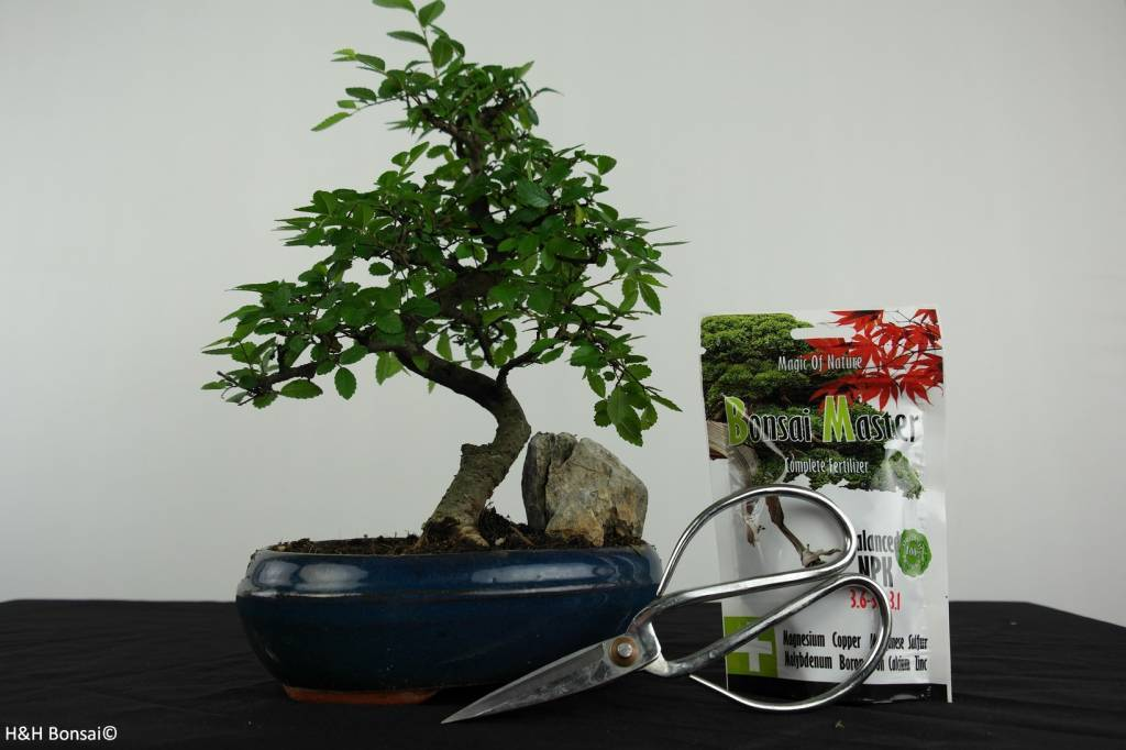 Cadeau bonsai orme de chine no g38 - Orme de chine bonsai ...