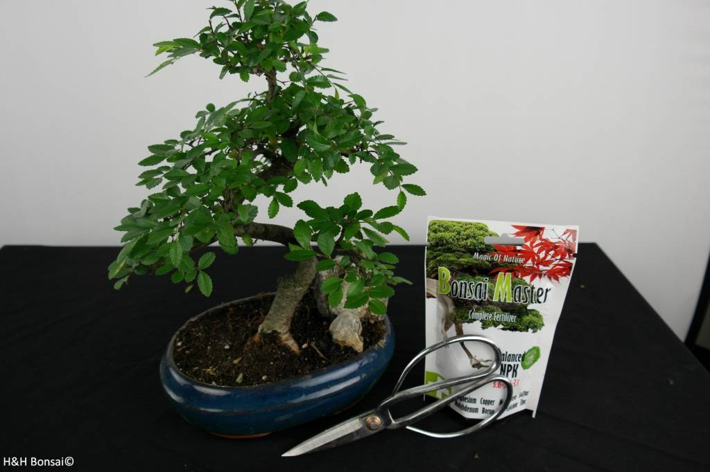 Bonsai gift set Chinese Elm, no. G38