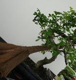 Bonsai gift set Combi Chinese Elm and Privet, no. G42