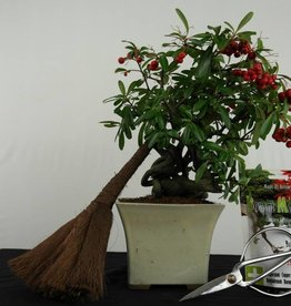 Cadeau Bonsai Buisson ardent, no. G48
