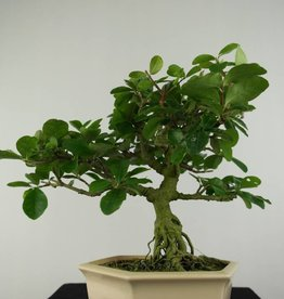 Bonsai Malpighia glabra, no. 6624