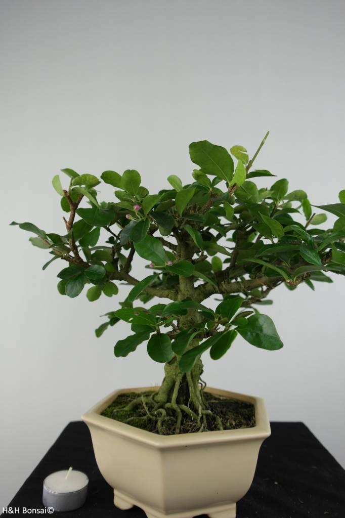 Bonsai Malpighia glabra, no. 6624