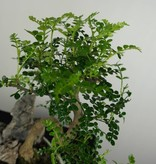 Bonsai Faux poivrier, Zanthoxylum piperitum, no. 6665