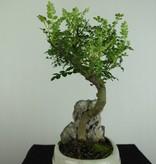 Bonsai Faux poivrier, Zanthoxylum piperitum, no. 6666
