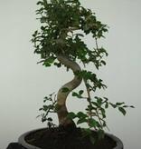 Bonsai Elm, Ulmus, no. 6687