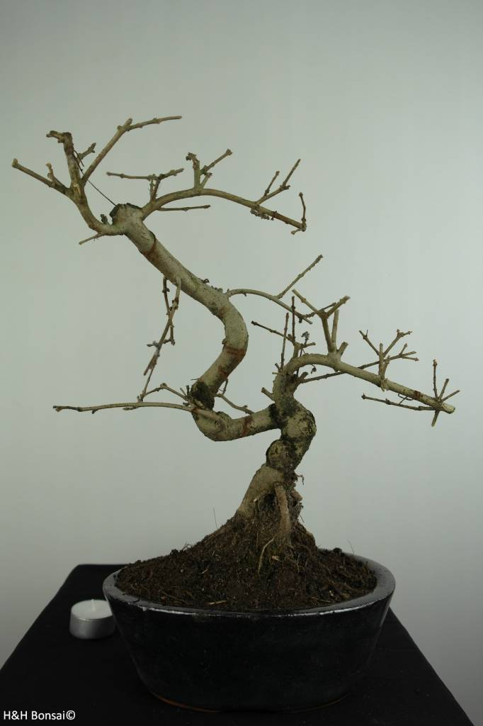 Bonsai Ash tree, Fraxinus sp., no. 6702