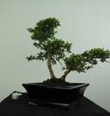 Bonsai Japanese Holly, Ilex crenata, no. 6716