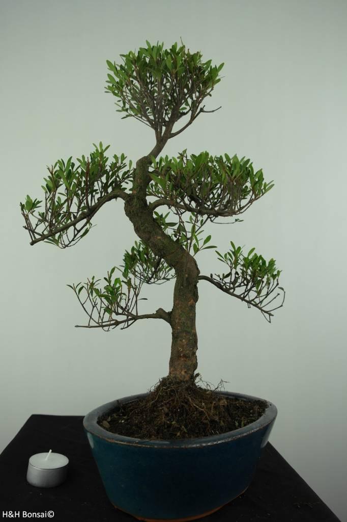 Bonsai Syzygium sp., no. 6728