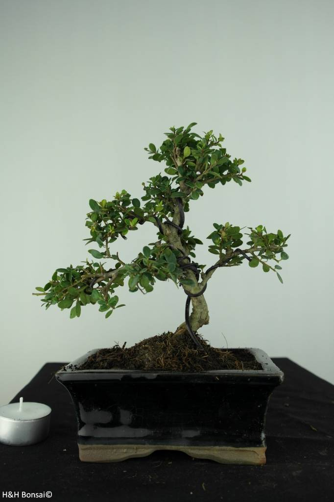 Bonsai Japanese Holly, Ilex crenata, no. 6753