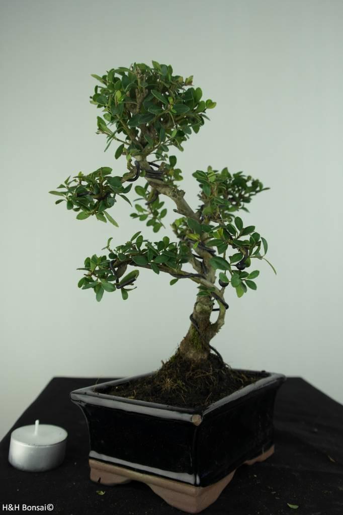 Bonsai Japanese Holly, Ilex crenata, no. 6756