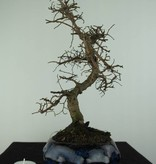 Bonsai Chinese Elm, Ulmus, no. 6773
