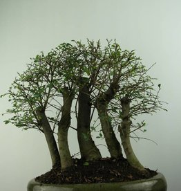 Bonsai Orme de chine, Ulmus, no. 6825