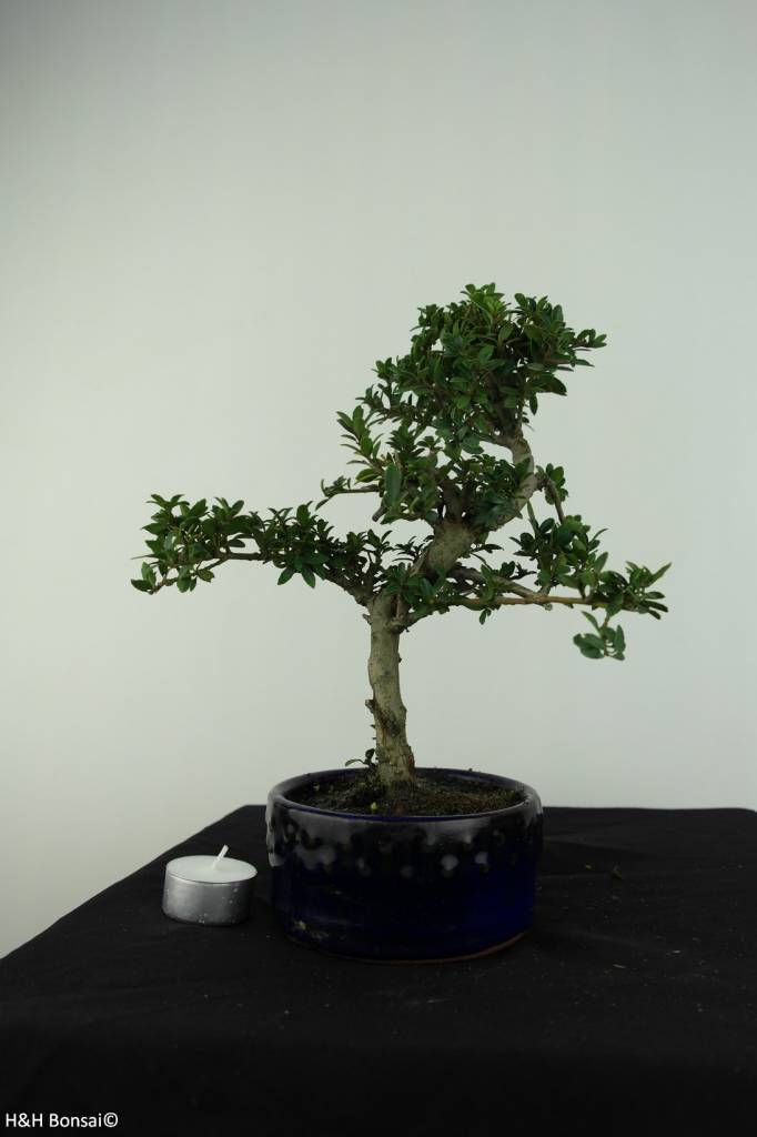 bonsai houx japonais ilex crenata no 6888. Black Bedroom Furniture Sets. Home Design Ideas
