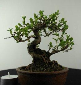 Bonsai ShohinChevrefeuille du japon, Lonicera japonica, no. 6962